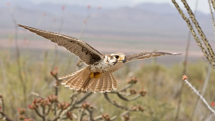 The Arizona-Sonora Desert Museum's Raptor Free Flight lets falcons and other birds native to the region fly untethered in open desert while a narrator describes their behaviors. Photo courtesy of the Arizona-Sonora Desert Museum.