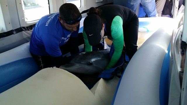 Summer the dolphin is placed in a wading pool on the Cessna Caravan. Photo courtesy Rob Gaynor.