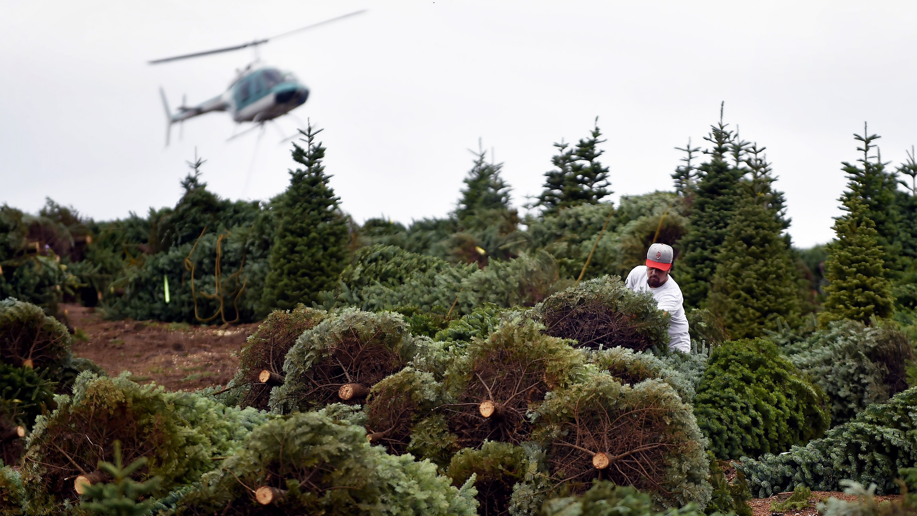Bundles of Noble fir trees are prepared for their aerial flight in special rope slings plucked from steep grades by helicopter pilots that swing the loads onto trucks called 'tubs' for efficient transport to Noble Mountain's shipping area in Oregon. Photo by David Tulis.