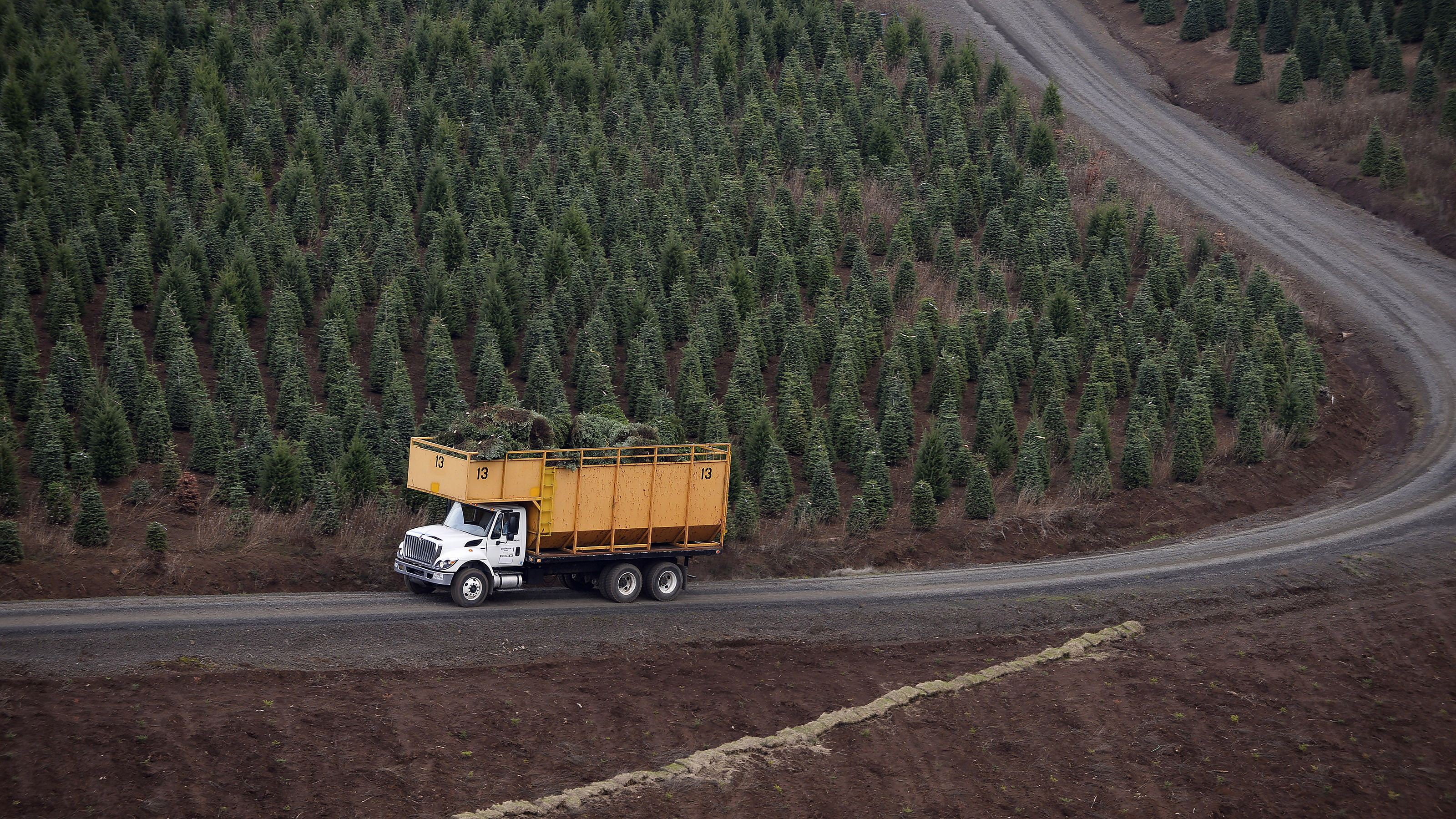 A truck called a 'tub' winds its way down a steep switchback from 1163-foot-tall Noble Mountain after a helicopter loaded it with bundles of Christmas trees near Salem, Oregon. Photo by David Tulis.