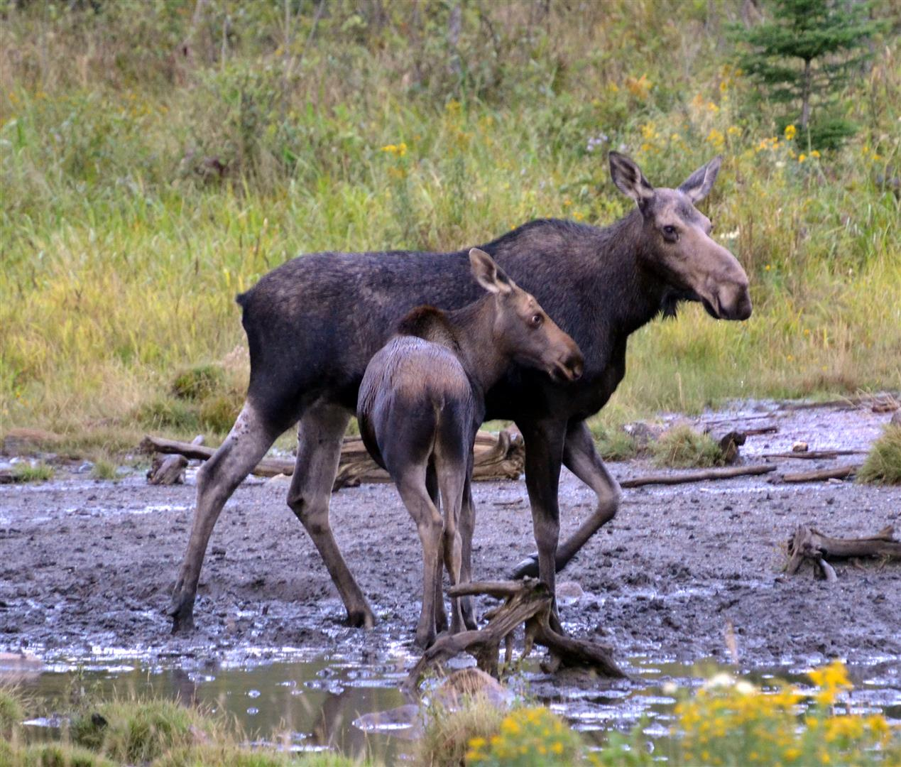 "Go on a ""moose safari"" to see the big ungulates, which feed on water plants during the summer. Photo by Jackie Robidoux, @j_robidoux."