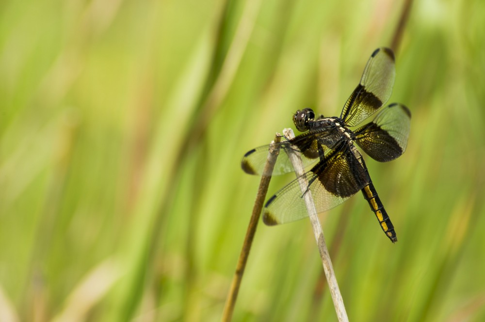 A dragonfly rests on a grass stem in the Tallgrass Prairie National Preserve, Kansas. Photo by Bo Nielsen via Flickr.