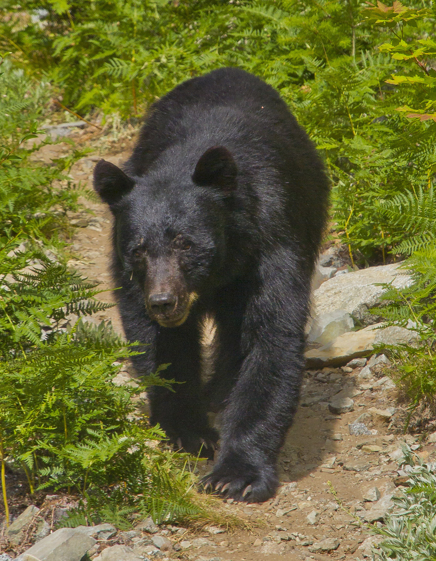 This black bear gets the right-of-way on the trail to Horseshoe Basin in North Cascades National Park, Washington. Photo by Andy Porter via Flickr.