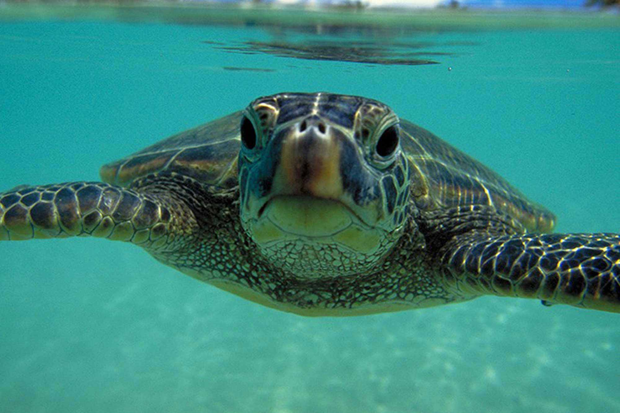 The Mauna Lani Bay Hotel has raised and released hundreds of green turtles, so the Kohala Coast boasts a large population of them. Get out in the water to meet them or see several that swim in the hotel pond. Photo courtesy Mauna Lani Bay Hotel.