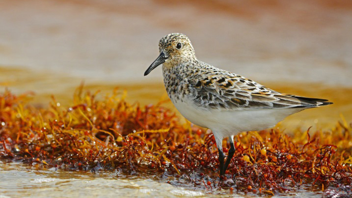 Sandpiper on the shores of Bon Secour National Wildlife Refuge. Photo courtesy of the U.S. Fish and Wildlife Service.