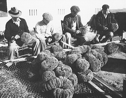 Greek Immigrants transformed the industry by harvesting sponges with dive equipment rather than hook poles. Photo courtesy of Library of Congress.