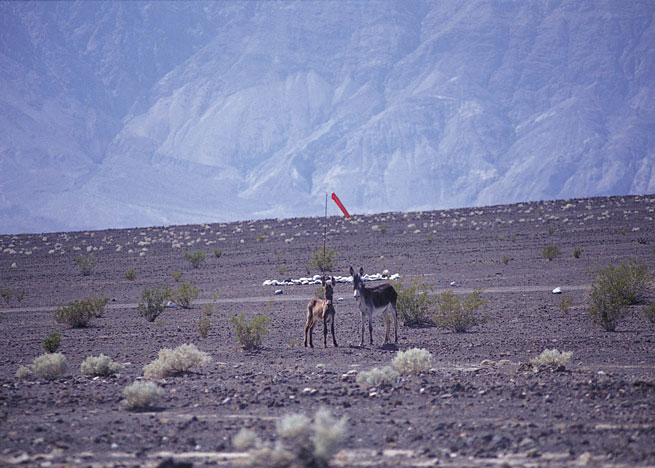 Wild burros frequent the airstrip, one of the few sources of water in the valley. Photo courtesy Pilot Getaways Magazine.