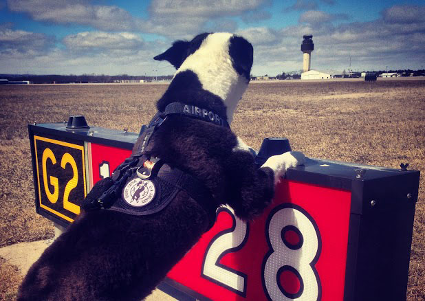 Piper on patrol at Cherry Capital Airport in Traverse City, Michigan. Photo by Brian Edwards.