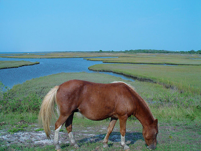 See the wild ponies in their natural habitat on Assateague Island. Photo courtesy of Town of Ocean City Tourism Office.